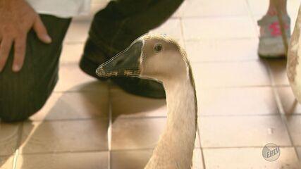 Casal de gansos domesticados atrai atenção de turistas e moradores em Poços de Caldas (MG)
