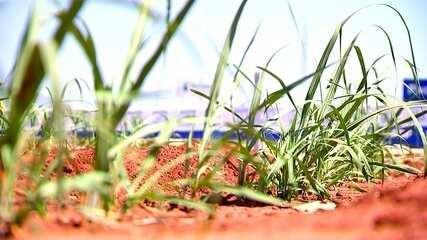 Uso de mudas pré-brotadas pode aumentar produtividade de canaviais