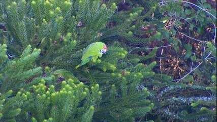 Papagaio-charão em revoada