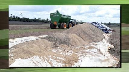 Chuva causa prejuízos nas lavouras de soja do norte de Mato Grosso