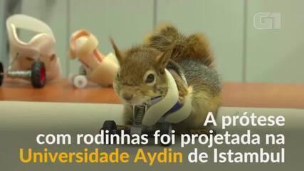 Esquilo recebe próteses para as patinhas na Turquia