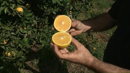 Colheita da laranja gera empregos no Paraná