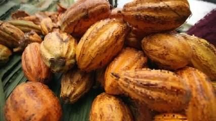 Empresária viaja para AM para comprar cacau e produzir chocolate com origem comprovada
