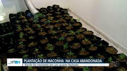 Mulher encontra plantação de maconha em casa abandonada em Goiás