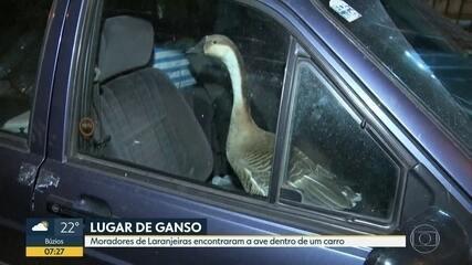 Ganso é encontrado preso dentro de carro em Laranjeiras