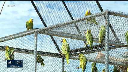"""Papagaios da espécie """"Verdadeiro"""" são devolvidos à natureza"""