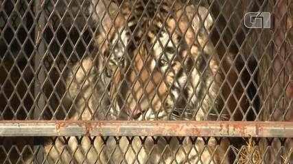 Tigre é encontrado em casa abandonada nos EUA