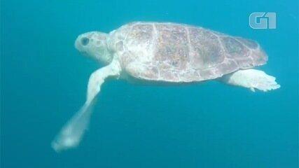 Vídeo mostra soltura de tartaruga reabilitada