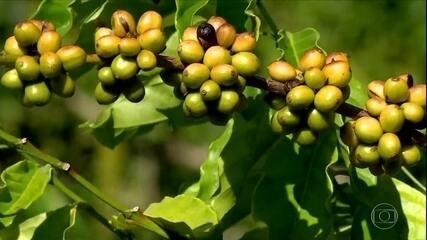 Preço mínimo do café conilon preocupa produtores do ES