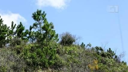 Pinheiro da América do Norte invade as dunas de Florianópolis