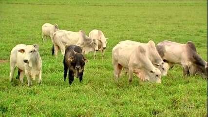Procura pelo gado de reposição cresce com aumento de abates de fêmeas