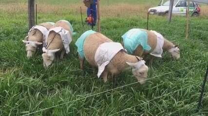Pesquisadores colocam fraldas em ovelhas para analisar pastos em SC