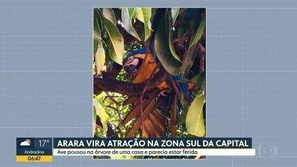 Arara-canindé solta na capital paulista