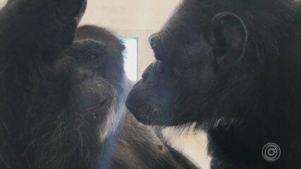 Chimpanzé transferido de zoo tem companheira em santuário em Sorocaba