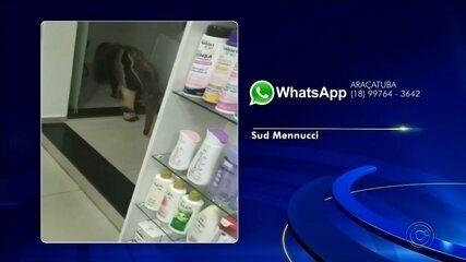 Tamanduá 'invade' farmácia em Sud Mennucci sem que ninguém percebesse