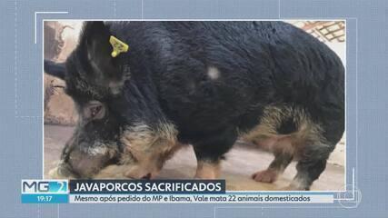 Javaporcos retirados de propriedades em Barão de Cocais por causa de risco de rompimento