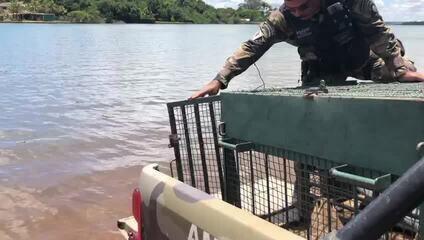Capivaras são soltas no Lago Paranoá, no DF