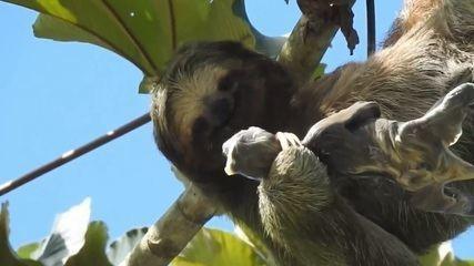 Vídeo raro mostra nascimento de preguiça na copa de árvore