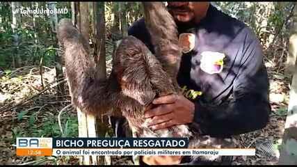 Bicho-preguiça é resgatado pela polícia em Itamaraju, no extremo sul da Bahia