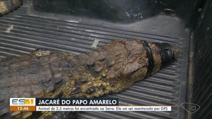 Jacaré de papo amarelo é encontrado na Serra, ES