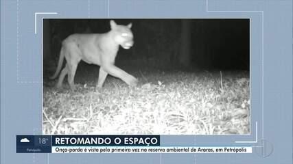 Onça-parda é vista pela primeira vez na Reserva de Araras, em Petrópolis, no RJ