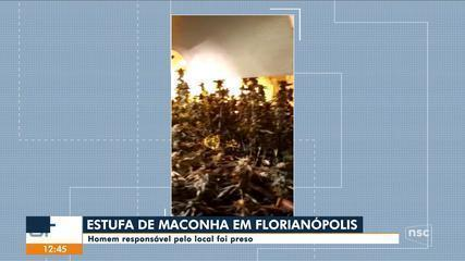Polícia Civil encontra estufa com plantação de maconha em Florianópolis
