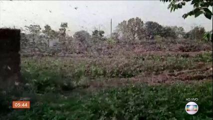Índia enfrenta a pior infestação de gafanhotos das últimas três décadas