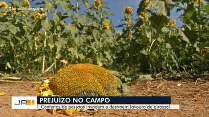 Centenas de pessoas invadem e destroem lavoura de girassol em Joanópolis