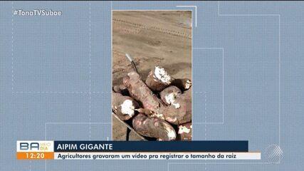 Agricultor colhe aipim gigante em fazenda na zona de rural de Coração de Maria