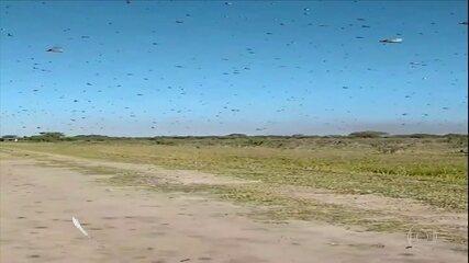 Nuvem de gafanhotos continua na Argentina; governo do RS faz monitoramento