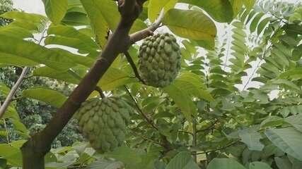 Produtores de atemoia não conseguem exportar a fruta
