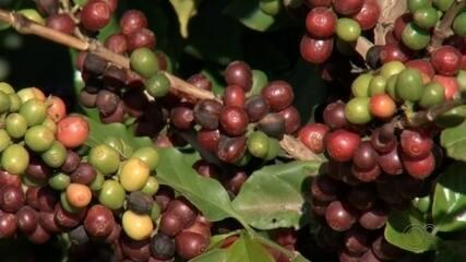 Alta do dólar favorece produtores de café que anteciparam exportação em Garça