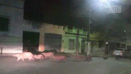 Moradores de Itabuna registram capivaras caminhando pelas ruas da cidade