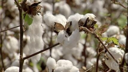 Agricultores do sertão do Ceará retomam produção de algodão após quase 40 anos