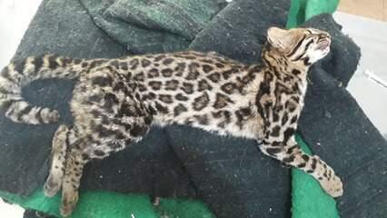 Veja vídeo da soltura do gato-do-mato-pequeno e da corujinha-do-mato em Serra Negra (SP)