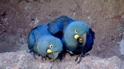 Filhotes de arara-azul nascem em Centro de Conservação de Araçoiaba da Serra