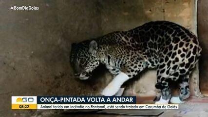 Vídeo mostra onça-pintada ferida em queimada caminhando com 'botinhas' nas patas