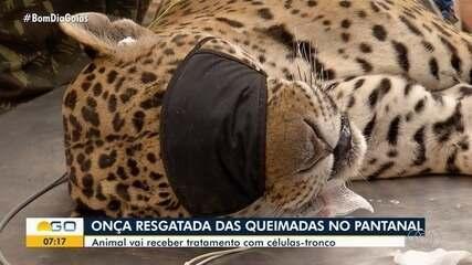 Outra onça é resgatada no Pantanal e levada para atendimento em Goiás