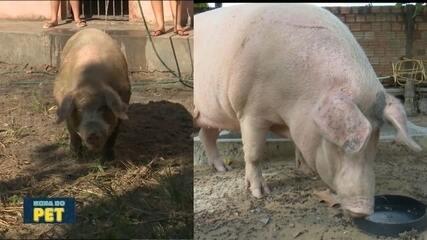 """No """"Hora do Pet"""" a história da uma porquinha que conquistou o coração de uma mulher"""