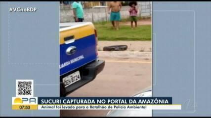 Sucuri é capturada no Portal da Amazônia, em Belém