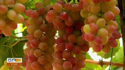 Vale do São Francisco testa mais uma variedade de uva produzida pela Embrapa