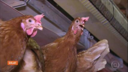 Alemanha detecta a presença de gripe aviária em mais uma granja comercial