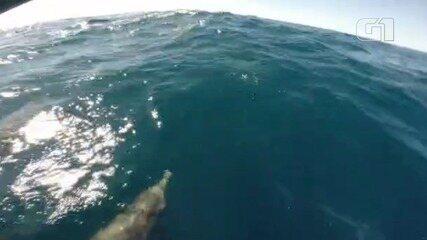 Dezenas de golfinhos são flagrados 'escoltando' barcos em Santos