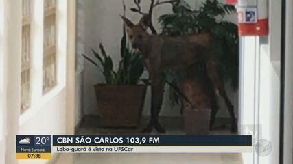 Lobo-guará é flagrado dentro de prédio da UFSCar em São Carlos