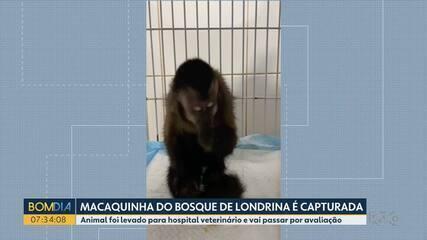 Macaquinha de bosque de Londrina é capturada