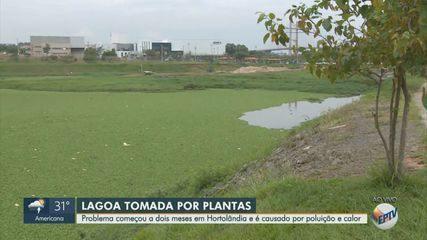 Calor e poluição alta deixam lagoa tomada por aguapés em Hortolândia