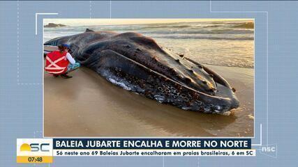 Baleia jubarte encalha e morre no Litoral Norte de SC