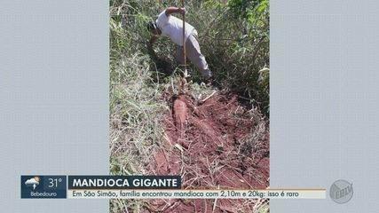 Família encontra mandioca gigante em sítio de São Simão, SP