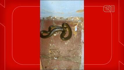 Cobra se esconde em banheiro durante digestão de sapo casa em Jaraguá do Sul