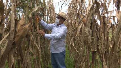 Produção de grãos no Acre deve ser 80% maior do que no ano passado